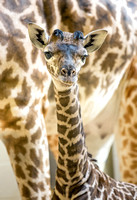 New Baby Giraffe at the Nashville Zoo, December 2013