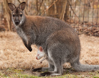 Wallaby Joey 2012