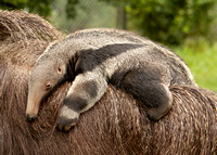 Giant Anteater Babies 2011