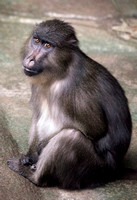 Mandrill/Sooty Mangabey Mix